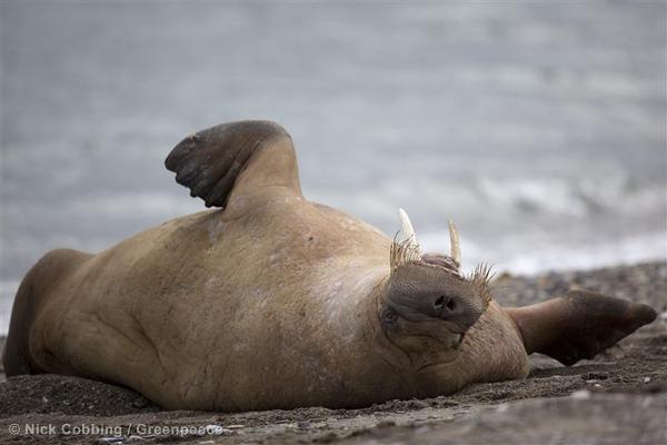 Morsa rodando en la costa en Svalbard, en el Ártico noruego