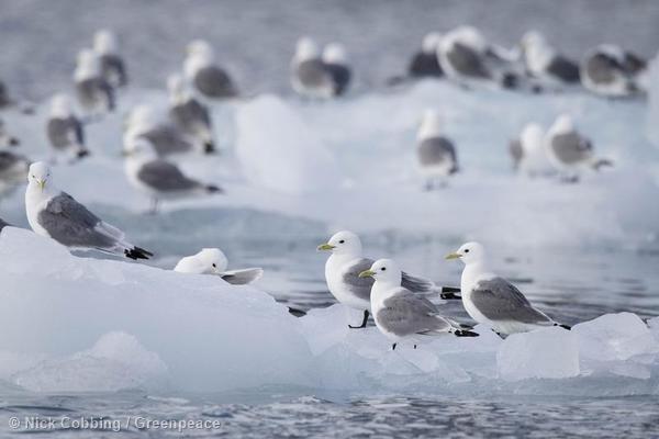 Fauna local en Svalbard