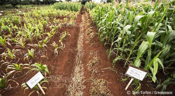 comparativa de un campo de maiz, ecológico y transgénico