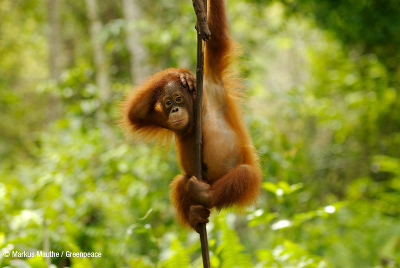Indonesia, la selva incendiada